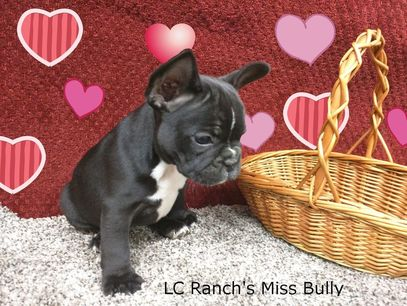 LC Ranch French Bulldogs