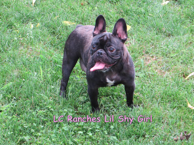 LC Ranch French Bulldog
