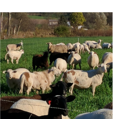 Katahdin ewes on pasture at LC Ranch